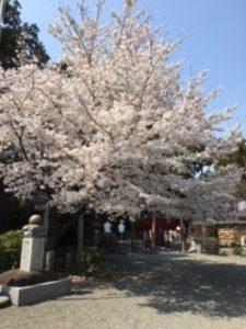 亀が池八幡宮の桜