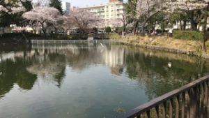 鹿沼公園の桜