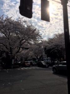 西門 桜並木